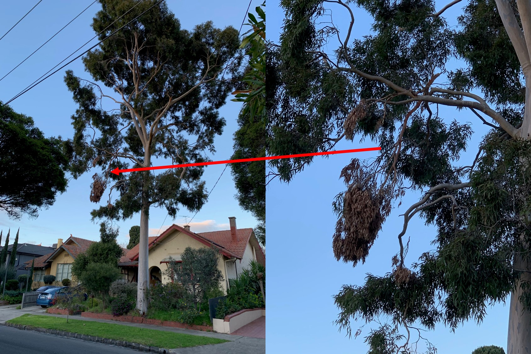 Large gum trees in residential areas pose a threat to life and property
